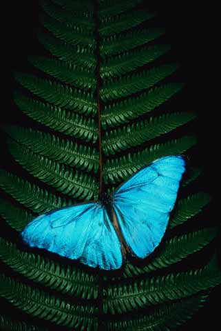 20061208042537-mariposa-azul-g.jpg