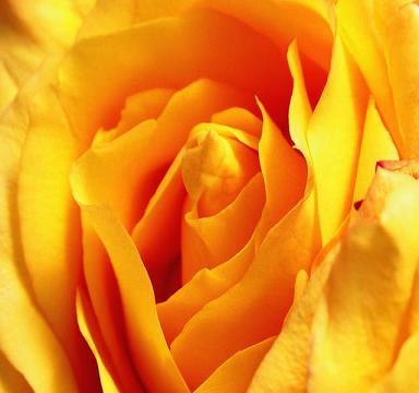 <strong><font size=4>*/ Rosa de Alejandría, rosa amarilla ...</strong></font>